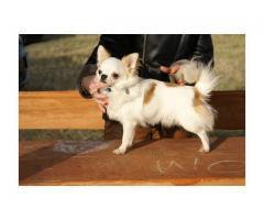 Chihuahua długowłosy - rodowód FCI