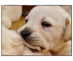 Labrador Retriever szczenięta biszkoptowe