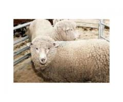 Owce miniatury