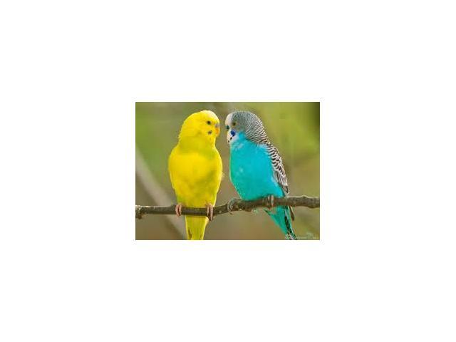 Papuga Nimfa + Klatka