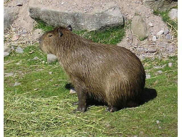 Kapibara prosto z Afryki