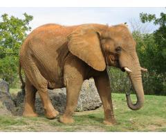 Słoń (nie z porcelany)