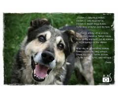Demo -duży pies z ogromnym sercem ,pokocha każdego.