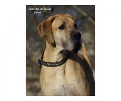 Sam -dog niemiecki do adopcji