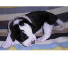 Moskiewski Pies Stróżujący