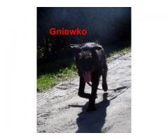 Czujny, radosny pies Gniewko szuka domu