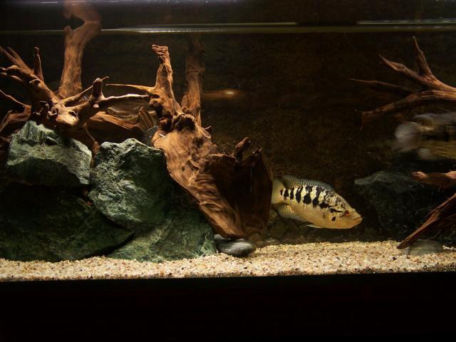 Pielęgnica managuańska - samica ok. 27 cm