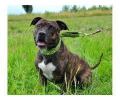 Sammer - piękny pręgowany psiak w typie amstaffa do adopcji.