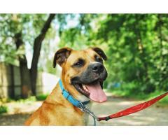 Baks - 2-letni psiak w typie boksera szuka domu