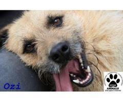 Fantastyczny, młody psiak Ozi czeka na dom
