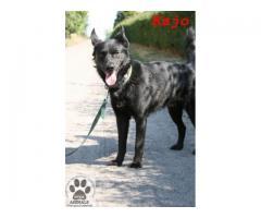 Wspaniały, uczuciowy pies Kajo pilnie potrzebuje nowego domu
