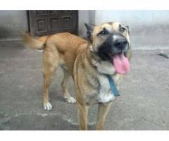 Dingo - radosny olbrzym szuka domu
