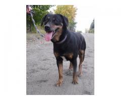 Ładny, łagodny, radosny, ułożony, młody pies Mentos