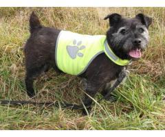 Cudowny psiak w typie Norfolk Terriera pilnie szuka domu!
