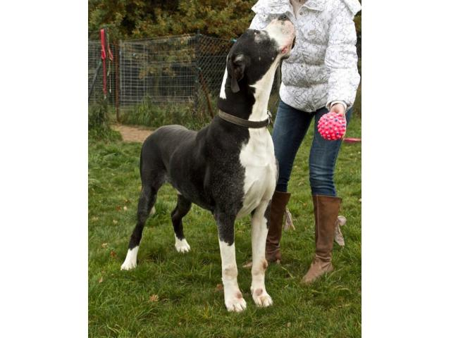 Impuls-dog niemiecki do adopcji