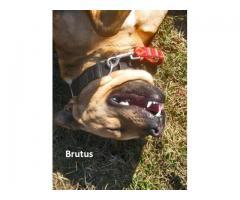 Brutus z podlasia pilnie szuka domu