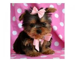 malenkie szczenieta Yorkshire Terrier