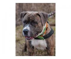 Astor młody, piękny pies w typie amstaffa.