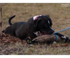 Odys - dobrze zbudowany pies w typie amstaffa.