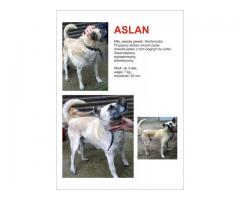 Aslan wspaniały pies z likwidowanego przytuliska szuka domu.