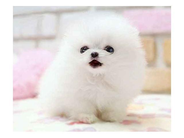 zadarmo Filizanka Pomeranian szczenieta