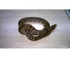 Wąż pyton tygrysi piękny maluch Wysyłka cały kraj