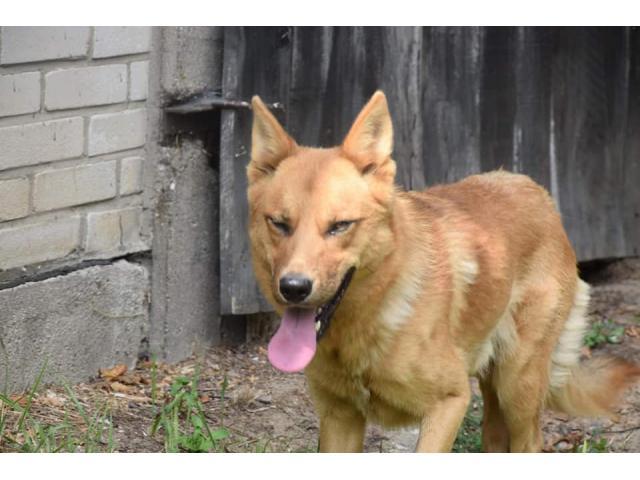 Rudy przystojny Fokus szuka domu.