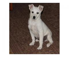 Gucio, biały szczeniak, kundelek czeka na dom