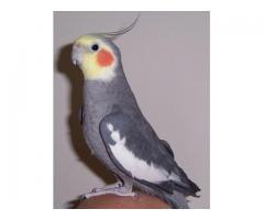 Papugi nimfy tanio