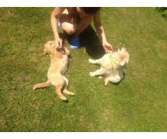 2 miesiesięczne szczeniaki do adopcji