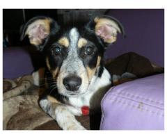 młodziutka sunia w typie Jack Russell terrier szuka domu