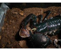Skorpion cena 60 ,P.cavimanus subadult