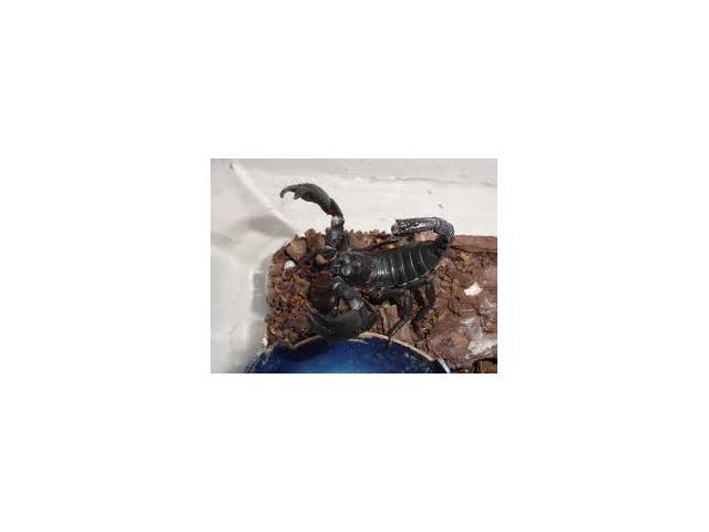 Skorpion dla początkujących H.petersi