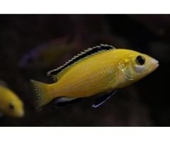 Sprzedam Pyszczaki żółte (Labidochromis caeruleus)