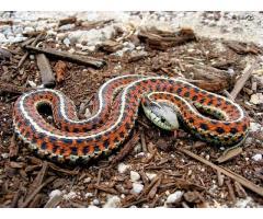 Wąż pończosznik