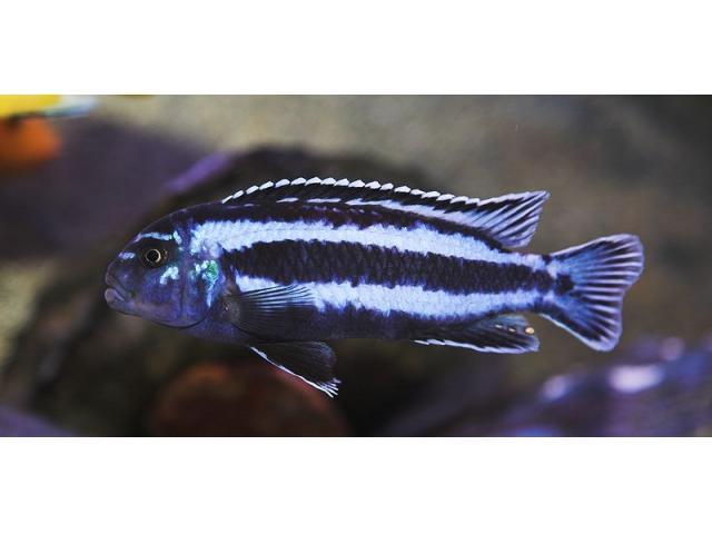 Sprzedam Melanochromis cyaneorhabdos
