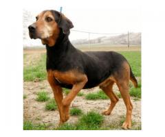 Pies w typie ogara- do adopcji- czeka w schronisku!
