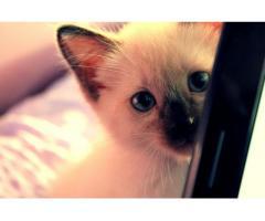 Piękne kocięta syjamskie!