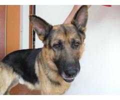 Piękny, duży psiak w typie owczarka szuka domu