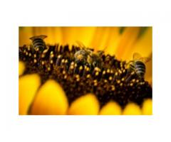 Sprzedam pszczoły