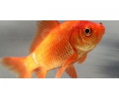 Rybki ozdobne, złota rybka(carassius auratus)