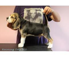 Beagle rodowodowe szczenięta