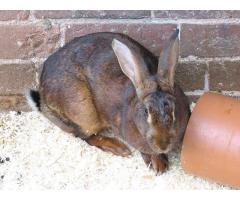 Belgijski Olbrzym królik