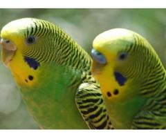 Papuga samiec i samiczka